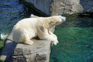 Visit polar bears at the zoo at part of your homeschooling